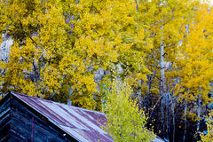 Old Building With Fall Foliage. Rustic wood building with rusting metal roof near a forest of aspen trees in bright yellow leaves Royalty Free Stock Images