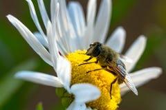 Surrfluga, Eristalis tenax Fotografering för Bildbyråer