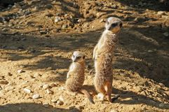 Surricates. Young and adult meerkat looking attentively Stock Photo