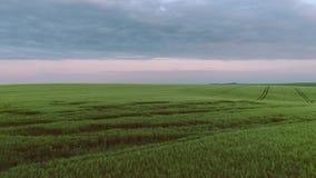 Surrlängd i fot räknat av kornfältet Jordbruk som brukar begrepp stock video