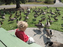 Surrounded by Geese. A small blond child sits on a picnic table surrounded by dozens of Canada Geese Royalty Free Stock Image