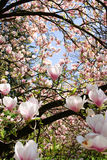 Surrounded by magnolia blossom Royalty Free Stock Photo