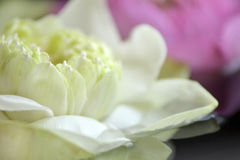 Surrounded by the natural beauty of the lotus Royalty Free Stock Photos