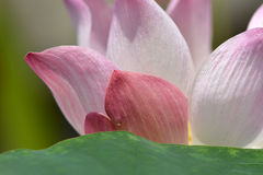 Surrounded by the natural beauty of the lotus Stock Photos