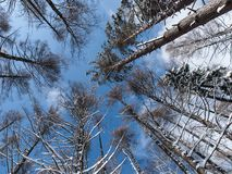 Surrounded by Pine Trees, low angle shot. As I walked the forest and fell from exhaustion moments I decided to rest. I lay down on the snow in the woods and saw royalty free stock image