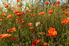 Surrounded by Poppy Bloom2. French countryside painted in red. Early summer has arrived and the countryside in Provence is donning its red dress. Its a symphony stock images
