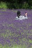 A field of vibrant lavender stock photography