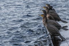 Cormorants sunbathing. Inhabitants of the lake stock image