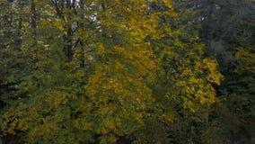Surrskott som att närma sig en klunga av härliga gula och gröna höstträd och upp till stiger en flyg- sikt stock video