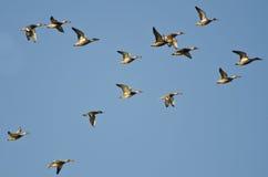 Surtido de patos que vuelan en un cielo azul Fotografía de archivo libre de regalías