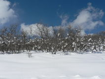 Surub eiken bomen in sneeuw Stock Foto's