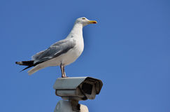 Surveillance cctv seagull. Surveillance camera with a seagull watching around Stock Image