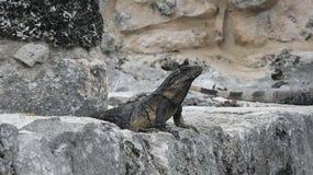 Surveillance d'iguane Photo stock