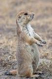 Surveillance de crabot de prairie Photos stock