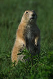 Surveillance de crabot de prairie Image libre de droits
