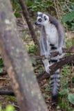 Surveillance de Ring Tail Lemur On The photographie stock libre de droits