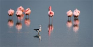 The survey. Flamingos or flamingoes are gregarious wading birds in the genus Phoenicopterus, the only genus in the family Phoenicopteridae. There are four Stock Photography