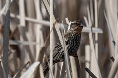 Surveying her landscape . Sunny day at the wetlands. Female Red winged blackbird , looks out over the wetlands in search of food royalty free stock photo