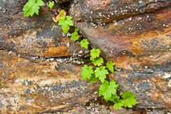 Survival. Plant growing and thriving in rock crevice Stock Photography