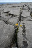 Survival. Plant surviving the elements in the famous limestone pavement cracks of The Burren, County Clare, Ireland Royalty Free Stock Photography