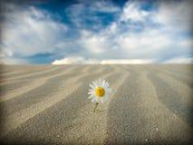 Survival. Small white flower in the desert Stock Photos