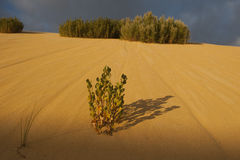 Survival of the fittest. Always phenomenal to see plants growing in the harshest environment like this little bush out of a sand dune Royalty Free Stock Photography
