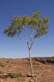 Survival of the Fittest. Another example of how amazing nature can be: a lonely tree in the middle of a rocky plateau grown up to 4 metres in height and looking Stock Photography