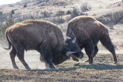 Survival of the fittest. Two big bull buffalos sparring over mating privileges Stock Photos