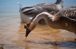 The survival of the geese. This goose eat for survival itself Stock Photo