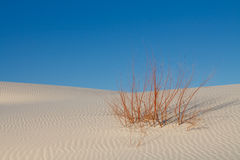 Survival - Lone Plant on White Sand Dune Stock Images
