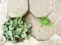 Survival plants on reak paving box floor, them eat rain and dew Royalty Free Stock Image