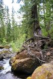 Survivalist conifer tree perches on boulder in low stream. Low water levels in the stream pose little threat to moving the boulders that support tree life in the Royalty Free Stock Images