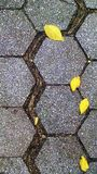Tree root widens crack between polygonal pavers. Survivalist tree grows roots where rainwater collects, between the hexagonal paving stones of a NYC sidewalk Royalty Free Stock Photography