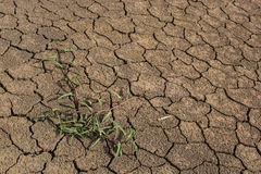 Survive green plant in cracked earth Royalty Free Stock Image