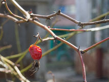 Survived rose hip in spider web lit with spring sun Stock Images