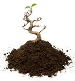 Surviving bonsai tree. Bonsai tree on a ground with two leaves Stock Images