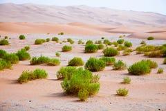 Surviving plants on the sand dunes of Liwa Oasis, United Arab Emirates Royalty Free Stock Image