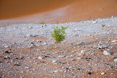Surviving plants on the sand dunes of Liwa Oasis, United Arab Emirates Stock Photography