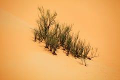 Surviving plants on the sand dunes of Liwa Oasis, United Arab Emirates Royalty Free Stock Photos