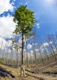 Surviving Tree Royalty Free Stock Image