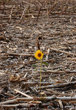 Survivor. A lonely sunflower left in the field after cropping Royalty Free Stock Photography