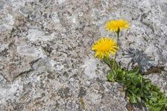 Survivor - hieracium pilosella in crevice Royalty Free Stock Photo