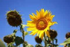 Survivor Sunflower. Sunflower surviving in dry field Royalty Free Stock Image