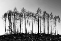 Survivors - Galloway Forest, Scotland. A line of pine trees awaiting the timber merchant's axe in Galloway Forest, Scotland Stock Images