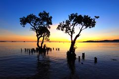 Survivors. Two Mangroves try to survive near to a beach Stock Photography