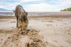 Sus farpado Barbatus do porco de Bornean na praia do parque nacional de Bako que procura pelo alimento na areia, Kuching, Malásia foto de stock royalty free