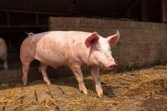 Sus scrofa domesticus. Dutch landrace, domestic pig (Sus scrofa domesticus), on a farm in the Netherlands stock photos