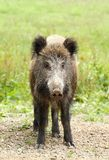 Sus scrofa Royalty Free Stock Photo
