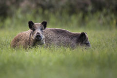 Sus scrofa Royalty Free Stock Photos