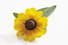 Susan aux yeux noirs fleurit (le hirta de Rudbeckia) images libres de droits
